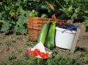 Erntefrisches_Gemüse